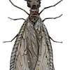 dobsonfly