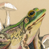 mink frog, colored pencil