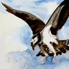 osprey, watercolor