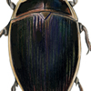 predacious diving beetle