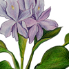 water hyacinth illustration