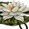 white water lily illustration