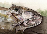 Copes Gray Treefrog Watercolor