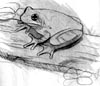 copes tree frog sketch