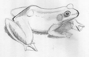 Frog Illustration How To: 4