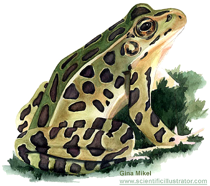 leopard frog, watercolor