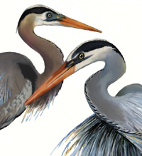 herons, watercolor
