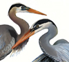 great blue herons, watercolor