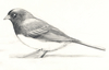 Study for Junco Illustration
