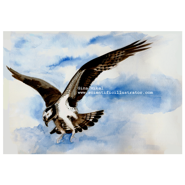 osprey in flight, watercolor