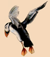 puffin flying, colored pencil
