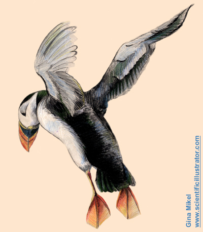 puffin in flight, colored pencil and pastel