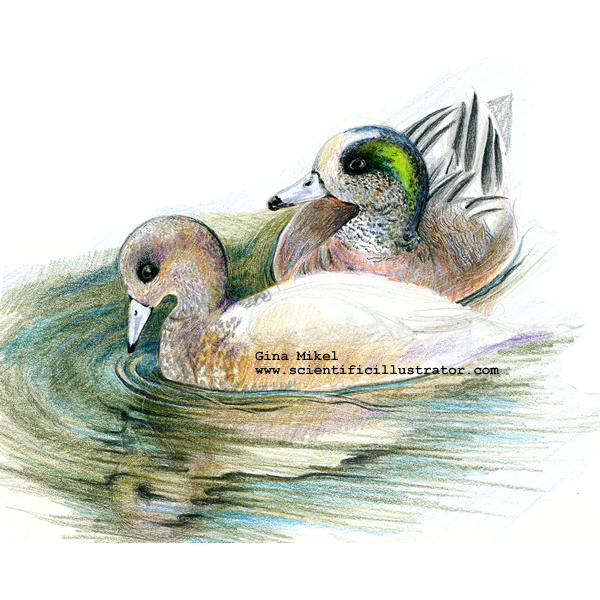 Green winged teals swimming
