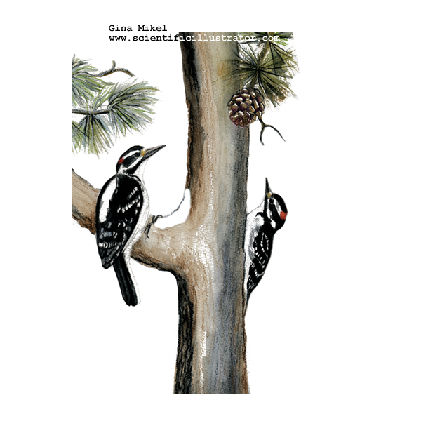 Hairy Woodpeckers
