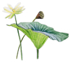 american lotus illustration