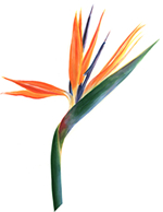 Bird Of Paradise Plant Art