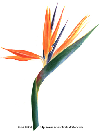 bird of paradise, watercolor