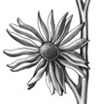 compass plant, study, graphite on mylar