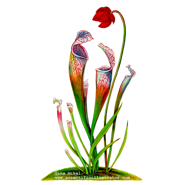 Pitcher plant drawing - photo#17