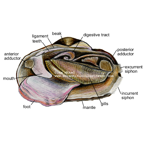 Mussel Anatomy Illustration