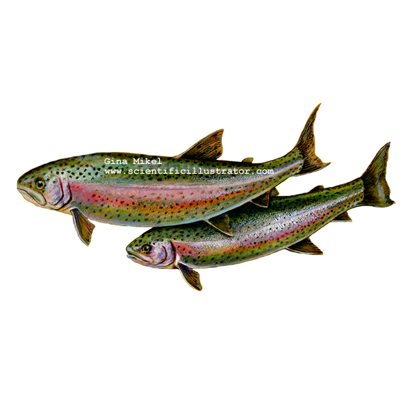 Rainbow trout illustration for How to fish for rainbow trout