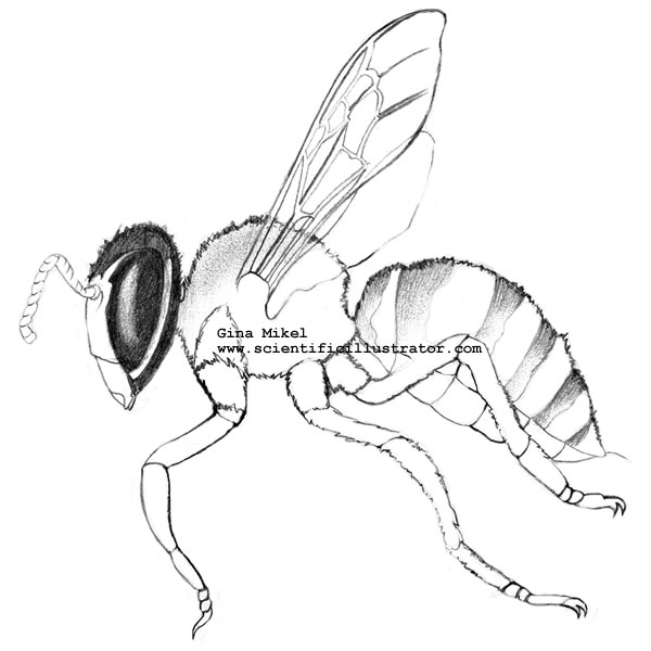 Line Drawing Insects : Bumble bee scientific drawing pin drawn bumblebee