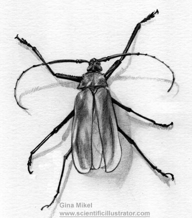 tanner longhorn, insect