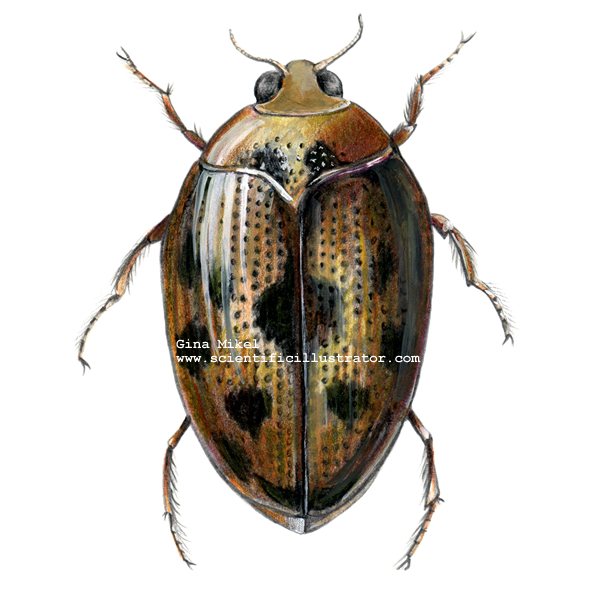 Beetles Insects http://www.scientificillustrator.com/illustration/insect/crawling-water-beetle.html