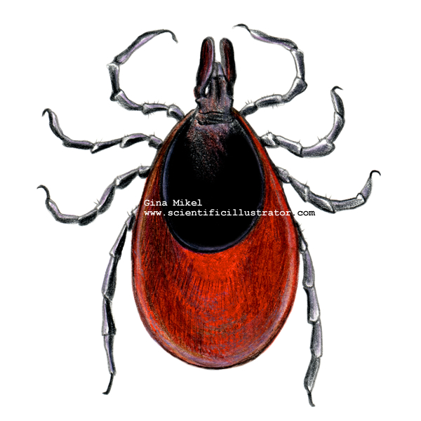Deer Tick - Female