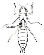 Dragonfly Larva Illustration