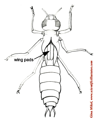Dragonfly Larva, Labeled