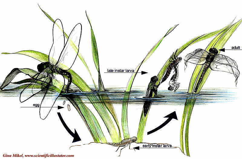 Dragonflies Life Cycle. Dragonfly Life Cycle, colored