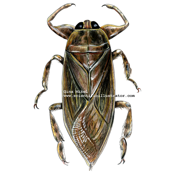 http://www.scientificillustrator.com/art/insects/giant_water_bug.jpg