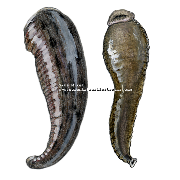 Leech Illustrated