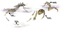 Illustration of Mosquito Life Cycle