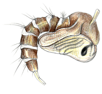 http://www.scientificillustrator.com/illustration/insects: Mosquito Pupa