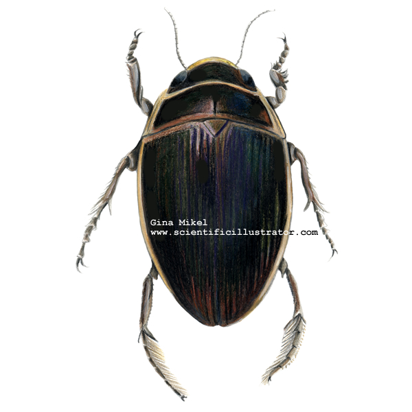 Beetles Insects http://www.scientificillustrator.com/illustration/insect/predacious-diving-beetle.html