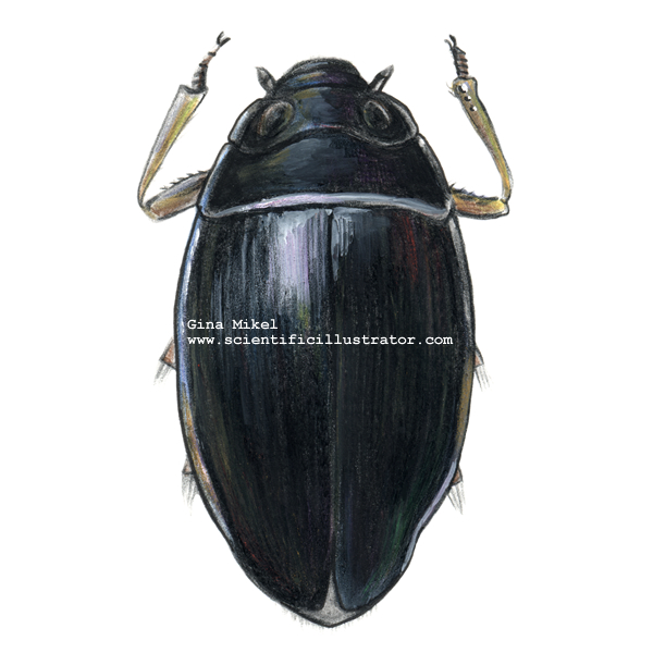 Beetles Insects http://www.scientificillustrator.com/illustration/insect/whirligig-beetle.html