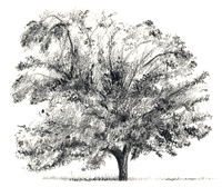 Pecan Tree Illustration