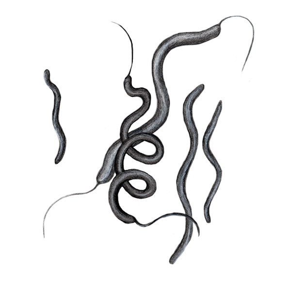 spirilla bacteria illustration
