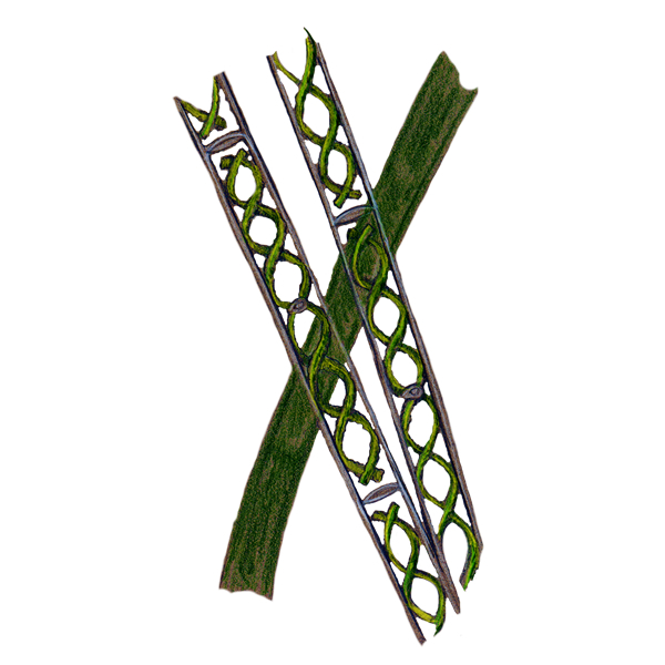 spirogyra illustration