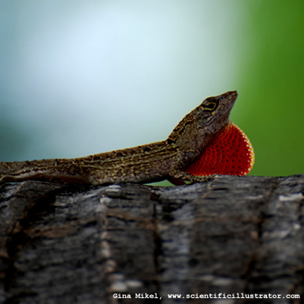 Lizard with Dewlap