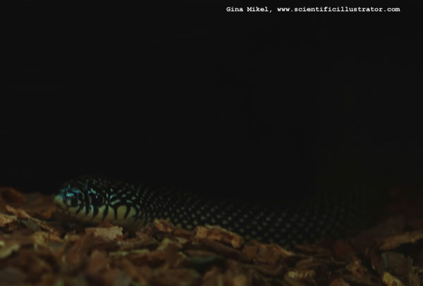 Speckled King Snake
