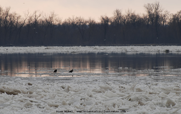 Bald Eagles on Mississipi River