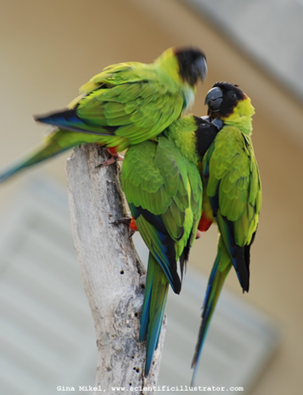 Nanday Conures