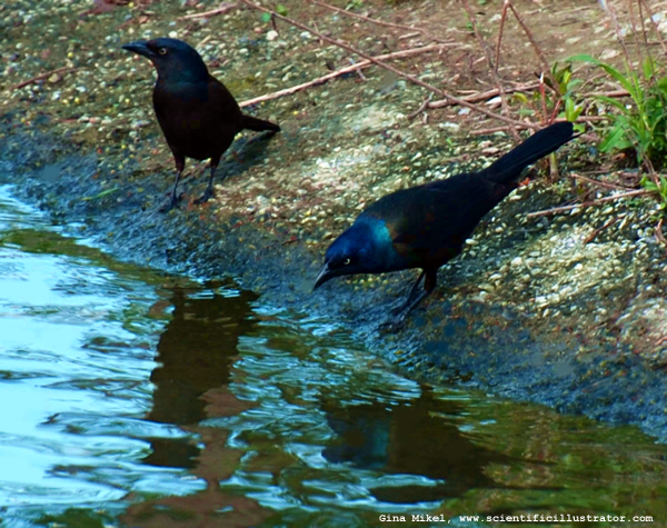 common grackle images. Common Grackle, St. Louis Zoo,