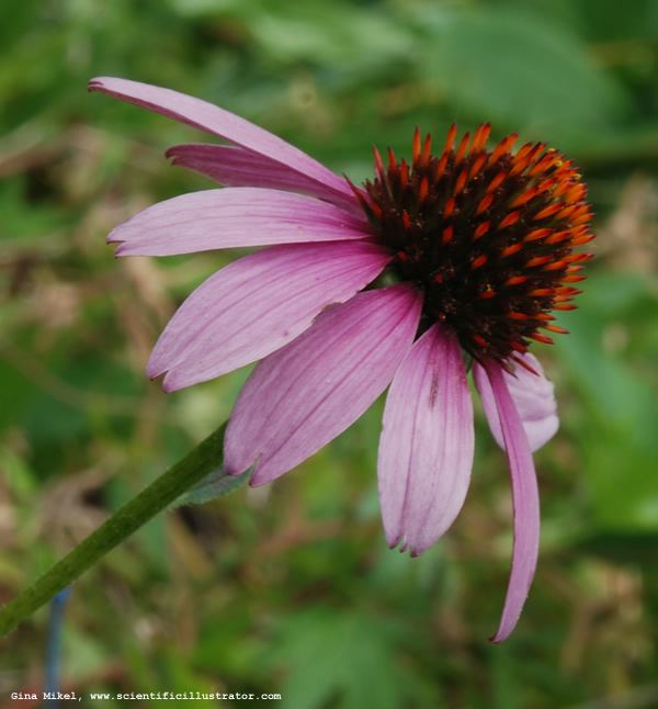 Purple cone flower photographs of by gina mikel