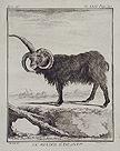 The Ram of Iceland
