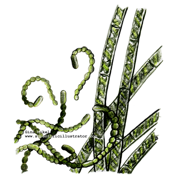 algae illustration algae illustrated 5917
